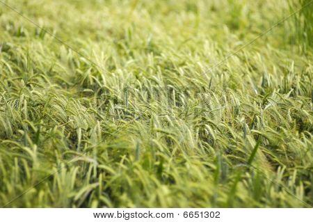 Waving Barley