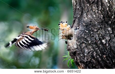 Hoopoe feeding their children in the