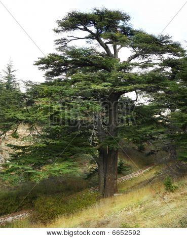 Lebanese Cedar Tree (Lebanon)