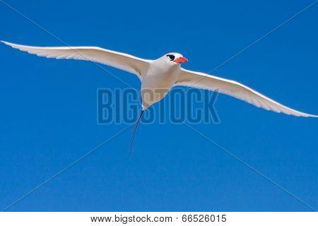 Red billed tropic bird flying