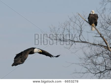 Eagle flies by another eagle