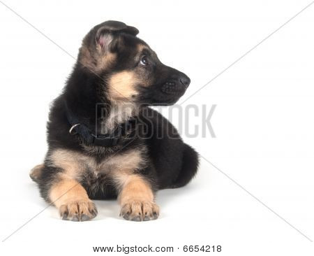 German Shepherd Puppy On White