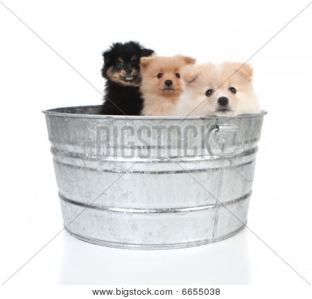 Pomeranian Puppies In An Old Washtub