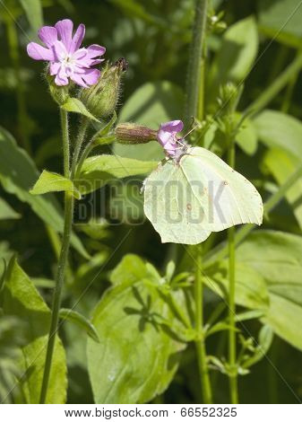 Female Brimstone Butterfly
