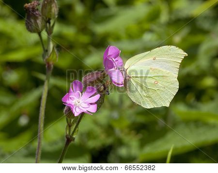 Female Brimstone Butterfly On A Campion Flower