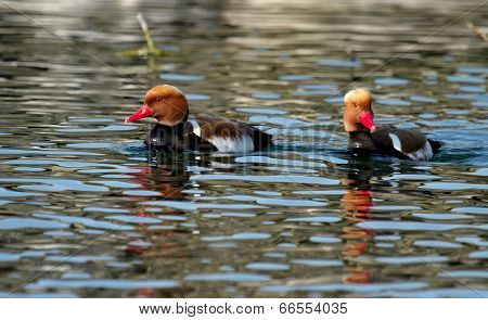 Red-crested pochard ducks (netta rufina)