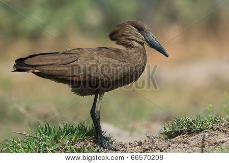 A Hamerkop (Scopus umbretta) with muddy feet poster
