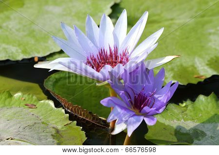 Beautiful Blooming Lotus Flower Or Water Lily With Its Reflection Shadow In Blue Water poster