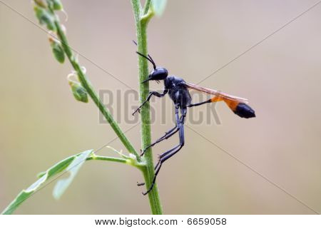 Parasitic Sand Wasp