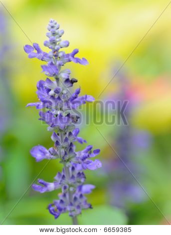 Purple russian sage flower