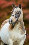 Foal, Shetland pony. poster
