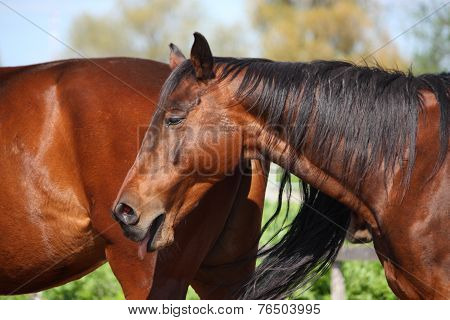 Yawning Brown Horse Portrait