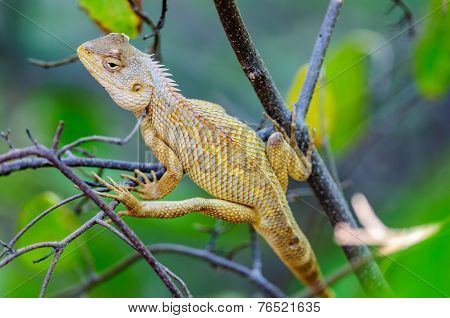 Oriental Garden Lizard Waiting On A Tree Branch