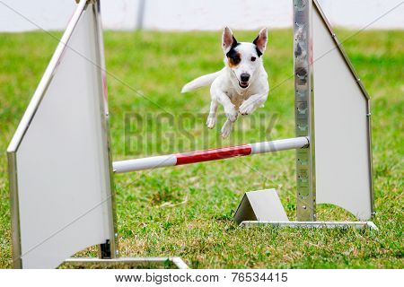 Agility dog with a Jack Russell Terrier poster