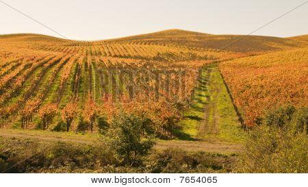 Rolling Hills of Autumn Vineyard
