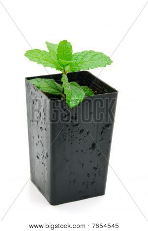 Mint Seedling In Pot Isolated