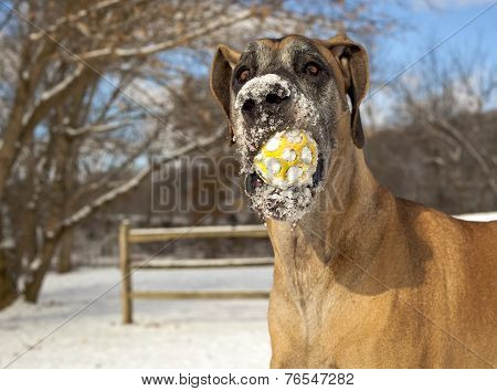 Great Dane with snowy ball in mouth