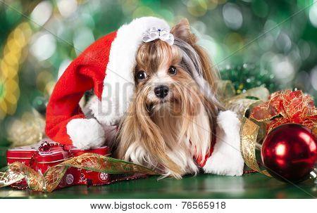 biewer-york puppy with santa hats
