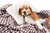 Beagle dog on plaid close-up poster