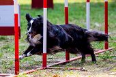 Agility dog with a black Shetland Sheepdog poster