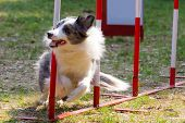 Agility dog with a bluemerle border collie poster