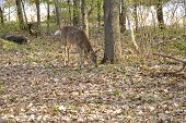 deer eating in the forest in spring poster