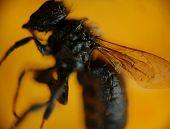Macro shot of petrified bee inside amber poster