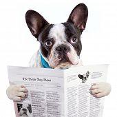 French bulldog reading newspaper over white poster