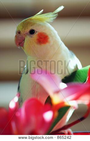Yellow Cockatiel Bird