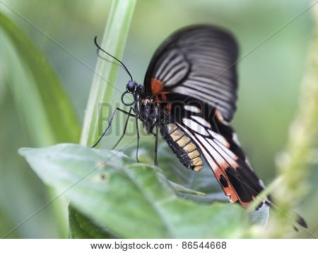 Papilio Memnon (great mormon) butterfly
