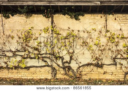 Grapevine On Wall