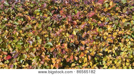 A colorful hedge in a garden.