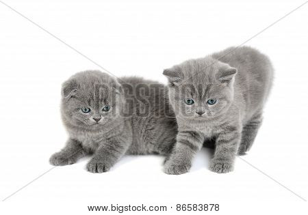 Two Adorable British Little Kittens
