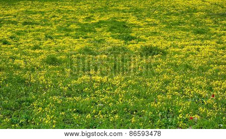 Meadow With Bright Yellow Flowers In The Sun.
