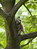 Cute looking raccoon sitting in a tree poster