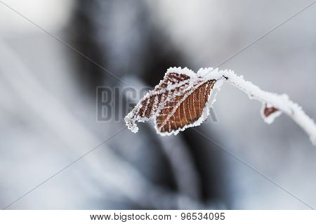 Hoarfrost On The Leaves In Winter Forest.