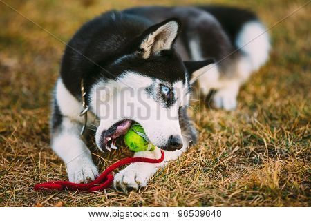 Dog Husky Puppy Plays With Tennis Ball