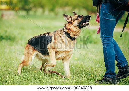 Training Shepherd Brown German Shepherd On Grass