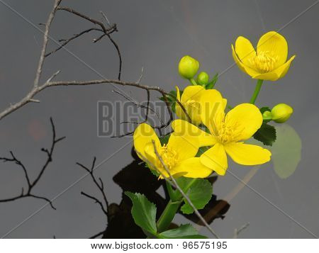 Yellow waterlilly