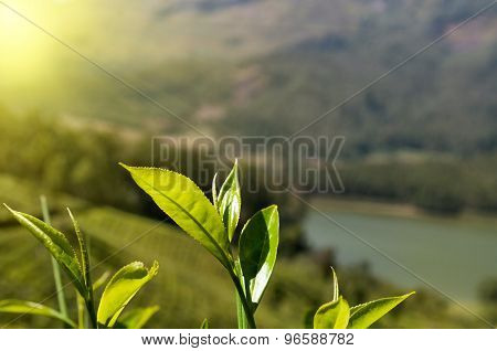 Green Tea Leaves On Tea Plantation Valley Background