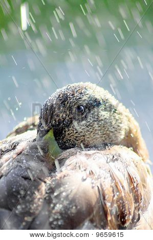 Brown Duck Full Of Light And Water Drops.