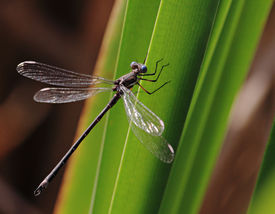 Kleinlibellen auf Klinge Blatt