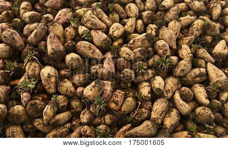 Fresh harvest of fodder beet in closeup