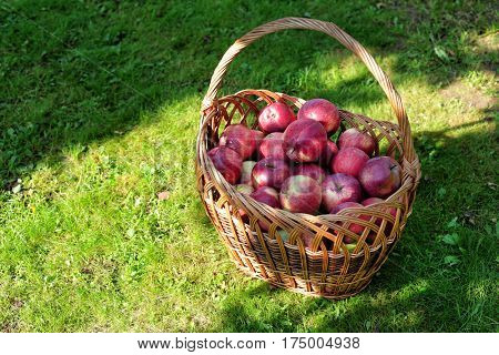 Ripe red apples in a basket on a green lawn