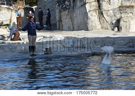 MYSTIC, CT - FEB 18: Beluga whale feeding at Mystic Aquarium in Connecticut, on Feb 18, 2017. The Aquarium is 1 of 3 US facilities holding Steller sea lions and the only beluga whales in New England.