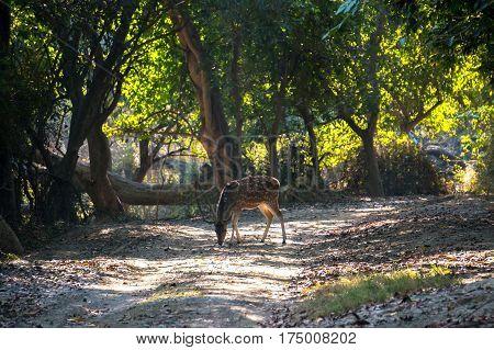 deer walking in the woods. Wildlife national Park India.