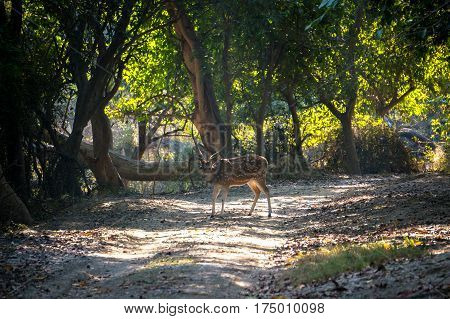 Fallow deer making his way into the forest