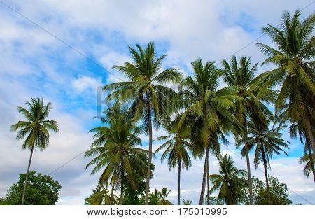 Palm trees grove. Sunny day on exotic island in Asia. Coco palm tree leaf and crowns on blue sky background. Tropical nature. Optimistic image for banner template with text place. Coconut palm garden
