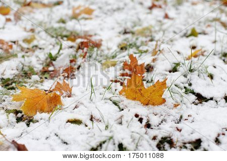 The first snow on the yellow autumn leaves