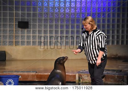 MYSTIC, CT - FEB 18: Sea lion show at Mystic Aquarium in Connecticut, on Feb 18, 2017. The Aquarium is one of 3 US facilities holding Steller sea lions and has the only beluga whales in New England.